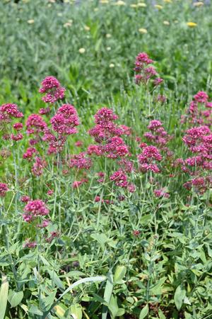 lamiales: flowerbed of pink vervain flower (Purpletop Vervain). Brazilian Verbena. Stock Photo