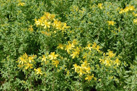 Herbal flower St Johns wort (Hypericum perforatum)