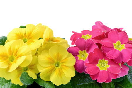 High angle fiew of yellow and punk primroses in flowerpot at white isolated backgrounds copy space on top