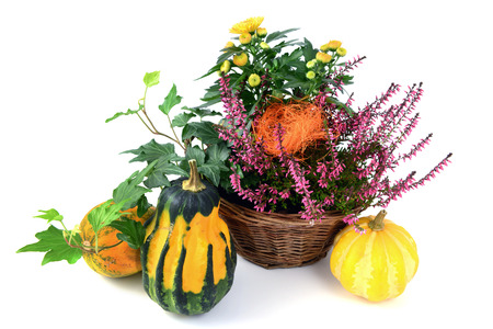 flower pot of heather and chrysanthemum flower with mini pumpkins on isolated white background.
