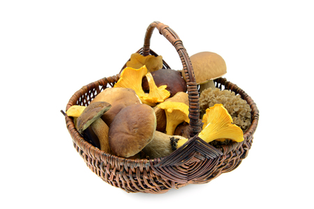 Basket full of edible mushrooms like penny bun, golden chanterelle, bay boletus and  cauliflower fungus (Sparassis crispa) on white isolated background.