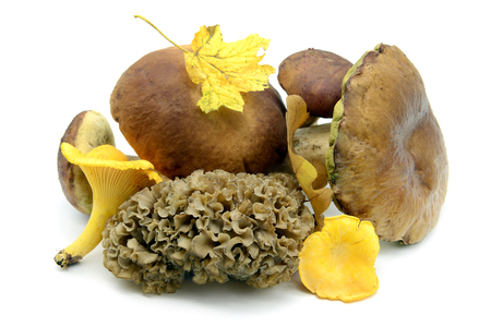 edible mushrooms like penny bun, golden chanterelle, bay boletus and  cauliflower fungus (Sparassis crispa) on white isolated background.