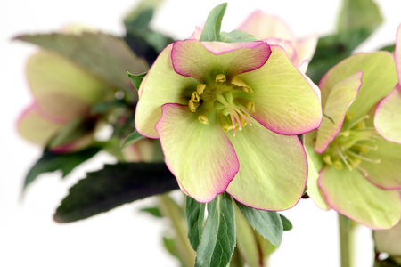 macro of green pink Hellebore (Helleborus niger) on white isolated background.