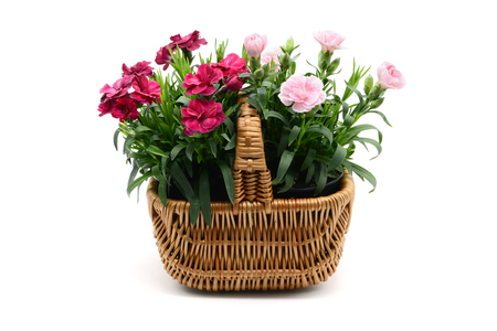 purple pink dianthus flower basket on white isolated background