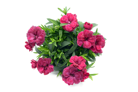purple pink dianthus flower in flowerpot. potted on white isolated background. top view.