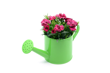 purple pink dianthus flower in flowerpot. potted in water can on white isolated background