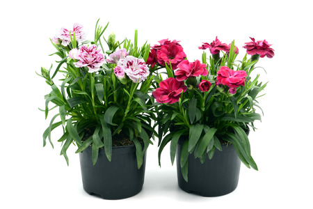 purple pink dianthus flowers in flowerpots. potted on white isolated background Stock Photo