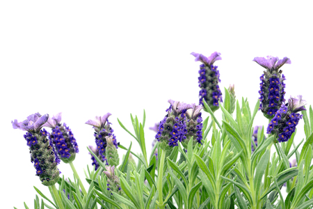 close-up macro of Spanish lavender (Lavandula stoechas). white isolated background. also known as topped lavender and French lavender.