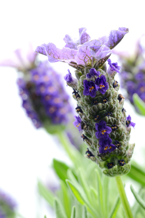 macro of spanish lavender ( lavandula stoechas) with flower heads on white isolated background
