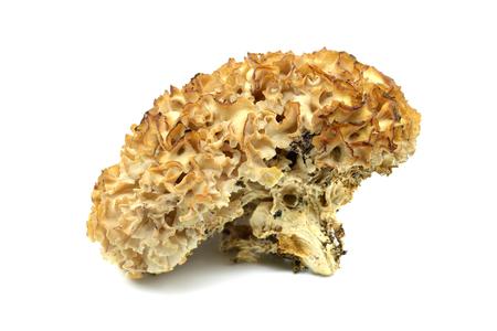 cauliflower fungus (Sparassis crispa) close-up at studio