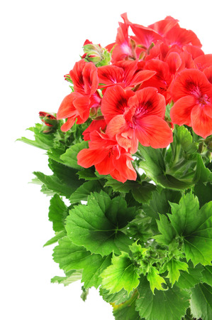 red Pelargonium (Cransbill) in flowerpot on isolated white background