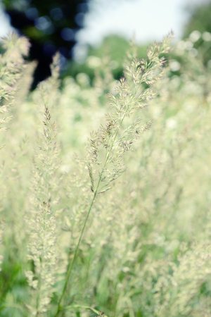 frost grass (Spodiopogon sibiricus) in flowerbed. grass is alos known as Siberian graybeard and silver spike.