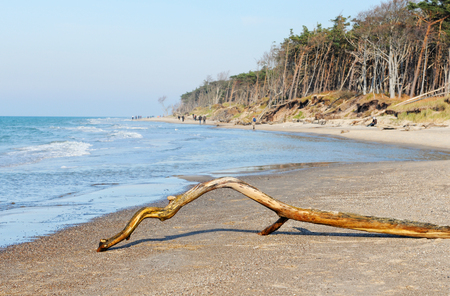 Baltic sea peninsular names Darss with natural shore and driftwood. springtime. Standard-Bild
