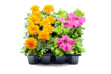 Tagetes and petunia flower tray box on white isolated background.