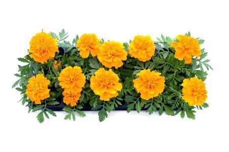 Tagetes Blumenkasten auf weißem Hintergrund isoliert. Ansicht von oben.