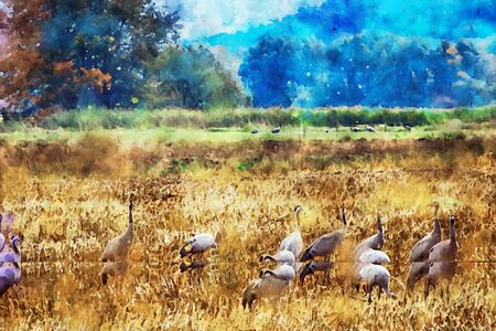 Watercolor painting of european crane duricng autumn bird migration on a field in Havelland region. 스톡 콘텐츠