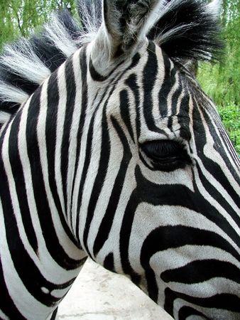 freaked: Zebra walking on freedom