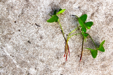 Four regular green clovers out the ground laying on a textured grey cement background Stock Photo - 21080178