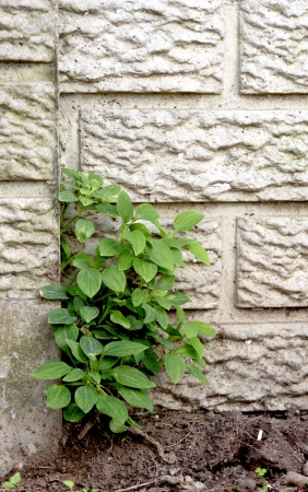precast: A flat view of a section of concrete precast fencing with a green weed growing out one of the cracks