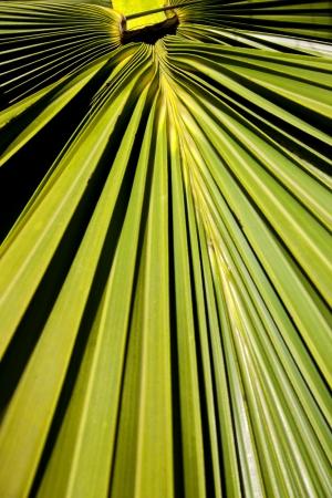 palm frond: Un closeup astratta di una sezione di un frondoso ramo di palma Archivio Fotografico