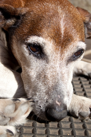 A closeup of the head of a sad looking brown white and grey old jack russell photo