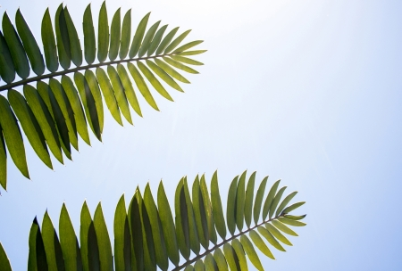 cycad: two green cycad leaves against bright blue sunny sky background