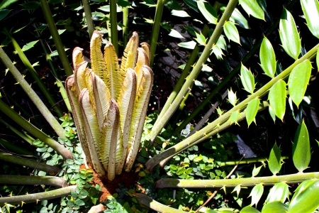 cycadaceae: new young fresh leaves produced by cycad plant