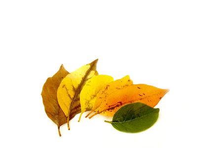 the ageing process: various leaf colors depicting cycle of life