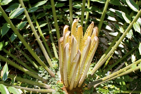 cycad: new leaves sprouting from a cycad plant Stock Photo