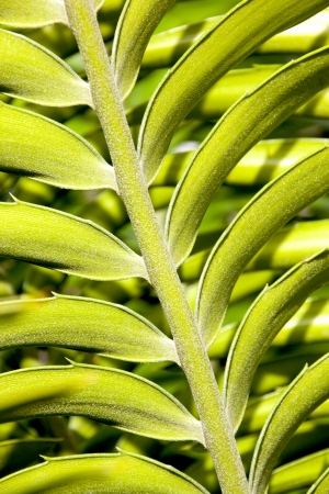 cycad: close up detail of leaf on cycad plant