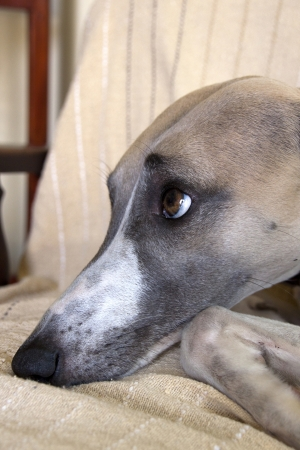 mischievious: face of mischievious whippet caught lying on furniture Stock Photo
