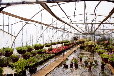 hanging baskets and nursery plants in a hothouse tunnel photo
