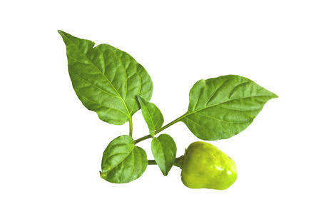 isolated studio shot of green habanero chillies and leaves with copy space on white photo