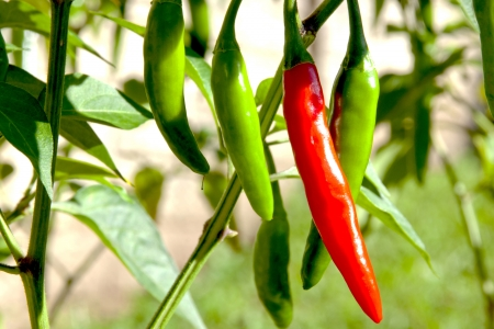 Shaded red and green chillies growing in garden