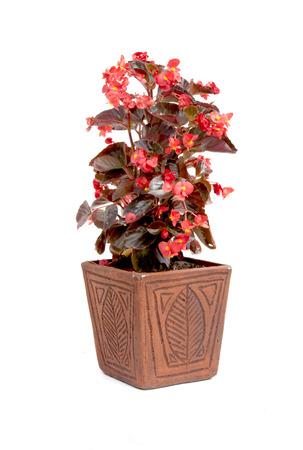 ornamental red leaf begonia potplant in handmade pot photo