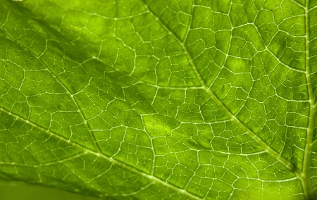 animal vein: extreme abstract closeup of green elephant leaf plant patterns and textures