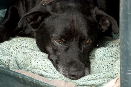 black guard dog dozing off in kennel