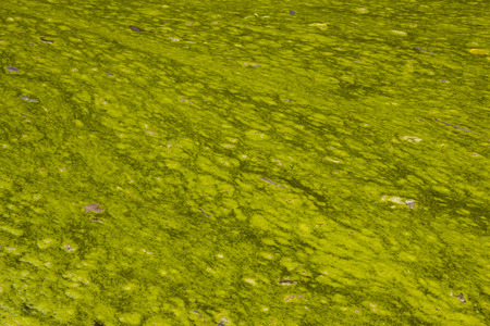 surface of hazardous stagnant algae infested water