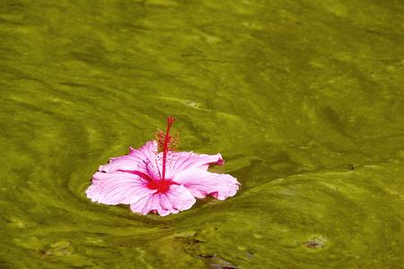 화려한 히비스커스 꽃 조류 감염 물에 떠있는
