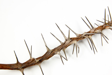 section of dried branch covered in sharp thorns