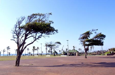 wind blown: wind blown trees in walkway on Durbans Golden Mile