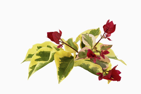 variegated: red flowers and variegated leaves of bougainvillea