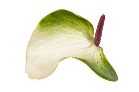spadix: green and white anthirium flower with pink spadix