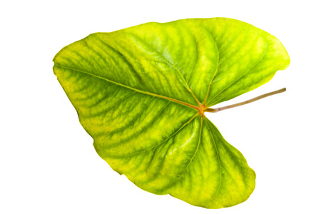 palmate: palmate vention displayed on green and yellow anthurium leaf