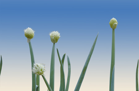 scallion: white flowers and green leaves of the scallion plant Stock Photo