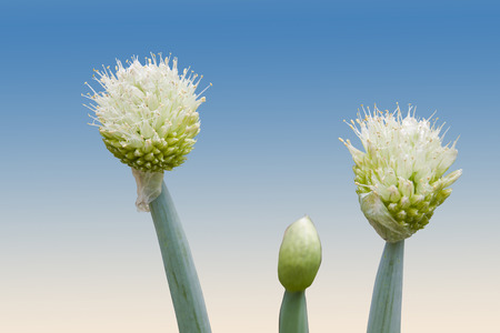 scallion: white flowers of the scallion onion plant