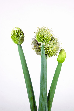 scallion: bud and white flowers of the scallion plant