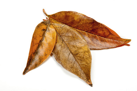 palmate: leaves in autumn colors forming palmate pattern