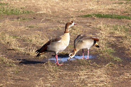 pair of egyptian geese drinking from puddle of water photo