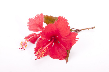 anthers: studio shot stem of red hibiscus flowers with autumn colored leaves
